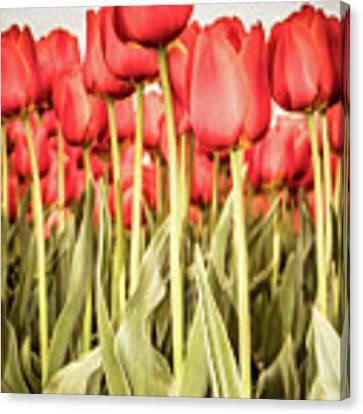 Red Tulip Field In Portrait Format. Canvas Print by Anjo Ten Kate