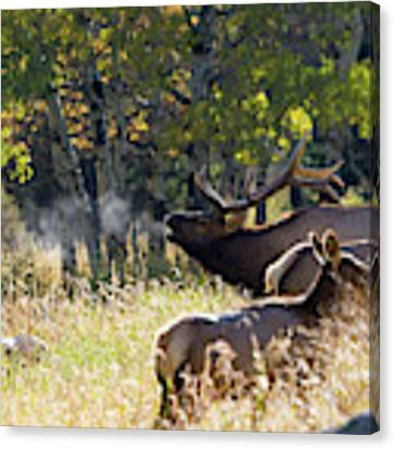 Rocky Mountain Bull Elk Bugeling Canvas Print by Nathan Bush