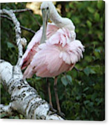 Roseate Spoonbill 22 Canvas Print by William Selander