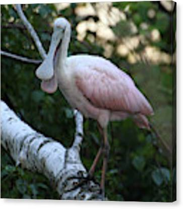 Roseate Spoonbill 23 Canvas Print by William Selander