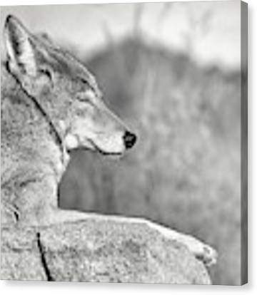 Sleepy Coyote Canvas Print by Elaine Malott