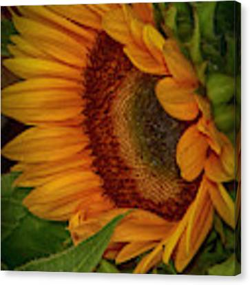 Sunflower Beauty Canvas Print by Judy Hall-Folde