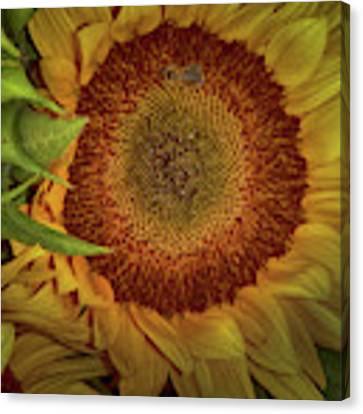 Sunflower Splendor Canvas Print by Judy Hall-Folde