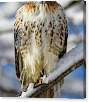 The Look, Red Tailed Hawk 1 Canvas Print by Michael Hubley