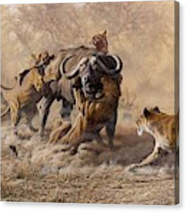 The Take Down - Lions Attacking Cape Buffalo Canvas Print by Alan M Hunt
