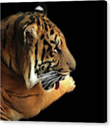 Tiger On Black Canvas Print by Alison Frank