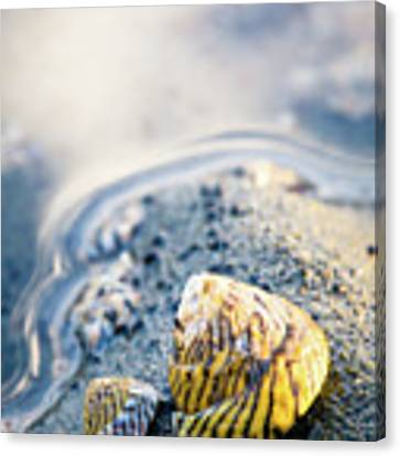 Tiny Seashell Canvas Print by Nicole Young