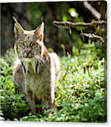 Watchful Mama Lynx Canvas Print by Tim Newton