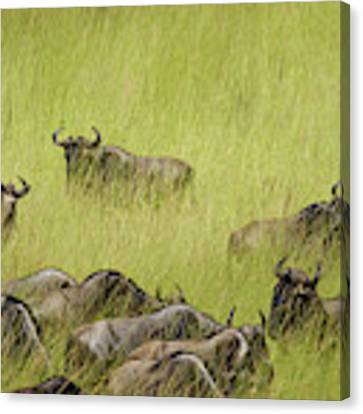 Wildebeest In Tall Grass Canvas Print by Mary Lee Dereske