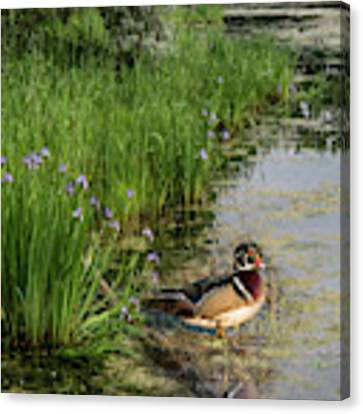 Wood Duck And Iris Canvas Print by Patti Deters