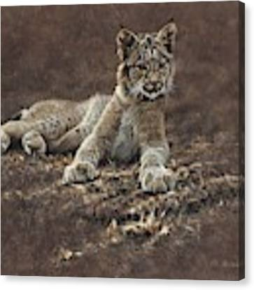 Young Bobcat By Alan M Hunt Canvas Print by Alan M Hunt