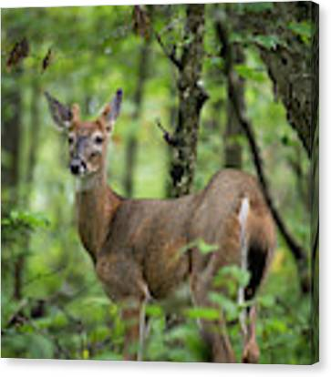 Young White-tailed Deer, Odocoileus Virginianus, With Velvet Antlers Canvas Print by William Dickman