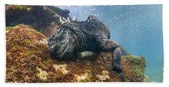 Marine Iguana Feeding On Algae Punta Bath Towel