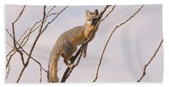 A Gray Fox In An Ocotillo Plant Looking Hand Towel