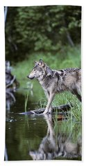 Adult Gray Timber Wolf Canis Lupus Hand Towel