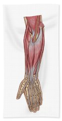 Anatomy Of Forearm Muscles, Anterior Bath Towel