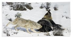 Bath Towel featuring the photograph Coyote Biting A Grizzly by J L Woody Wooden
