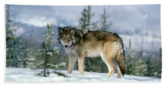 Gray Wolf Canis Lupus In Winter Snow Hand Towel
