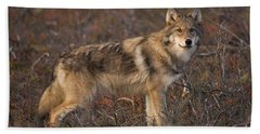 Gray Wolf On Tundra In Denali Hand Towel