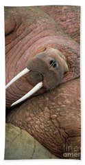 Bull Walrus On Round Island Hand Towel