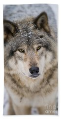 Timber Wolf Pictures 254 Hand Towel by Wolves Only