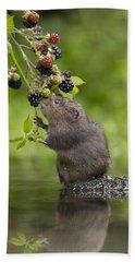 Water Vole Eating Blackberries Kent Uk Hand Towel