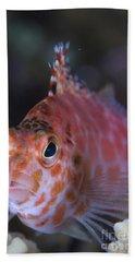 Pixy Hawkfish, Kimbe Bay, Papua New Hand Towel