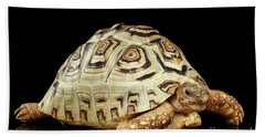 Closeup Leopard Tortoise Albino,stigmochelys Pardalis Turtle With White Shell On Isolated Black Back Bath Towel