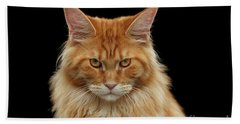 Angry Ginger Maine Coon Cat Gazing On Black Background Hand Towel