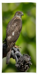Common Buzzard Buteo Buteo, Bandhavgarh Bath Towel