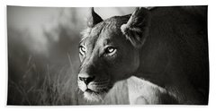 Lioness Stalking Hand Towel