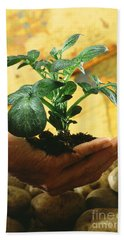 Potato Plant Hand Towel by Science Source