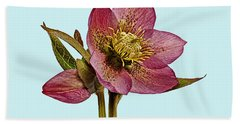 Bath Towel featuring the photograph Red Hellebore Blue Background by Paul Gulliver