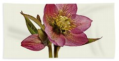 Bath Towel featuring the photograph Red Hellebore Cream Background by Paul Gulliver