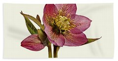 Hand Towel featuring the photograph Red Hellebore Cream Background by Paul Gulliver
