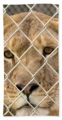 Staring Lioness Hand Towel