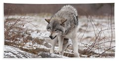 Beach Towel featuring the photograph Adult Timber Wolf by Wolves Only
