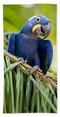 Close-up Of A Hyacinth Macaw Beach Towel