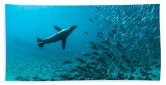Galapagos Sea Lion Hunting Fish Rabida Beach Towel