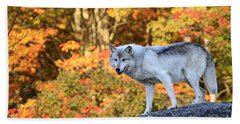 Gray Timber Wolf, Canis Lupus Beach Towel