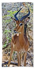 Male Impala In Kruger National Park-south Africa   Beach Sheet