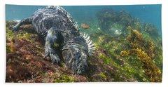 Marine Iguana Feeding On Algae Punta Beach Towel