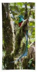 Beach Towel featuring the photograph Resplendent Quetzal Male Costa Rica by Konrad Wothe