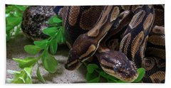 Two Burmese Pythons Python Bivittatus Beach Towel