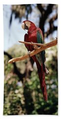 1960s Scarlet Macaw Parrot Perched Beach Towel