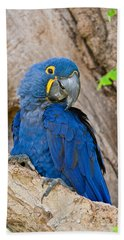 Close-up Of A Hyacinth Macaw Beach Towel