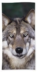 Beach Towel featuring the photograph Gray Wolf Portrait Endangered Species Wildlife Rescue by Dave Welling