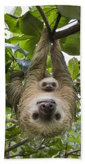 Beach Towel featuring the photograph Hoffmanns Two-toed Sloth And Old Baby by Suzi Eszterhas