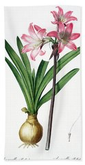 Amaryllis Belladonna From Les Liliacees Engraved By De Gouy Beach Towel