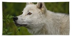 Arctic Wolf Pictures 168 Beach Towel